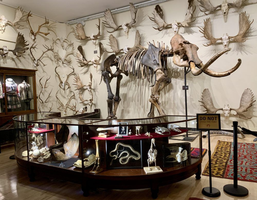 A magnificent woolly mammoth skeleton surrounded by moose antlers.